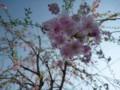 [桜][花]しだれ桜的な(2)