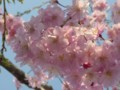 [桜][花]しだれ桜的な(1)