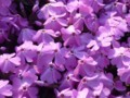 [花]何だか食い物を求めてる感のする芝桜アップ