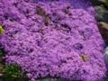 [花]芝桜のプチコロニー…をこのくらいの距離で見ると微妙にキモい(ぉぃ)
