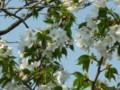 [花]これも桜の仲間?