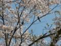 [桜][花]鳥もいるょ