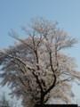 [桜][花]でっかい桜です