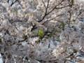 [桜][花]そろそろ葉桜へ移行っぽい