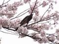 [鳥][花][桜][ハイク]鳥