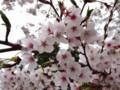 [花][桜][ハイク]桜