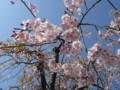 [花][桜][ハイク]