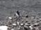 [鳥][ハイク]