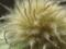 クレマチスの綿毛