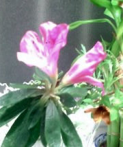 蕾カバーが取れて咲き始める