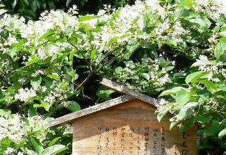 なんじゃもんじゃの白い花