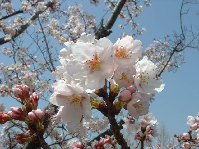 花見(奥須磨公園/ソメイヨシノ)