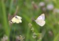 黄蝶のデート