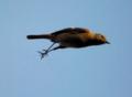 飛ぶジョウビタキ