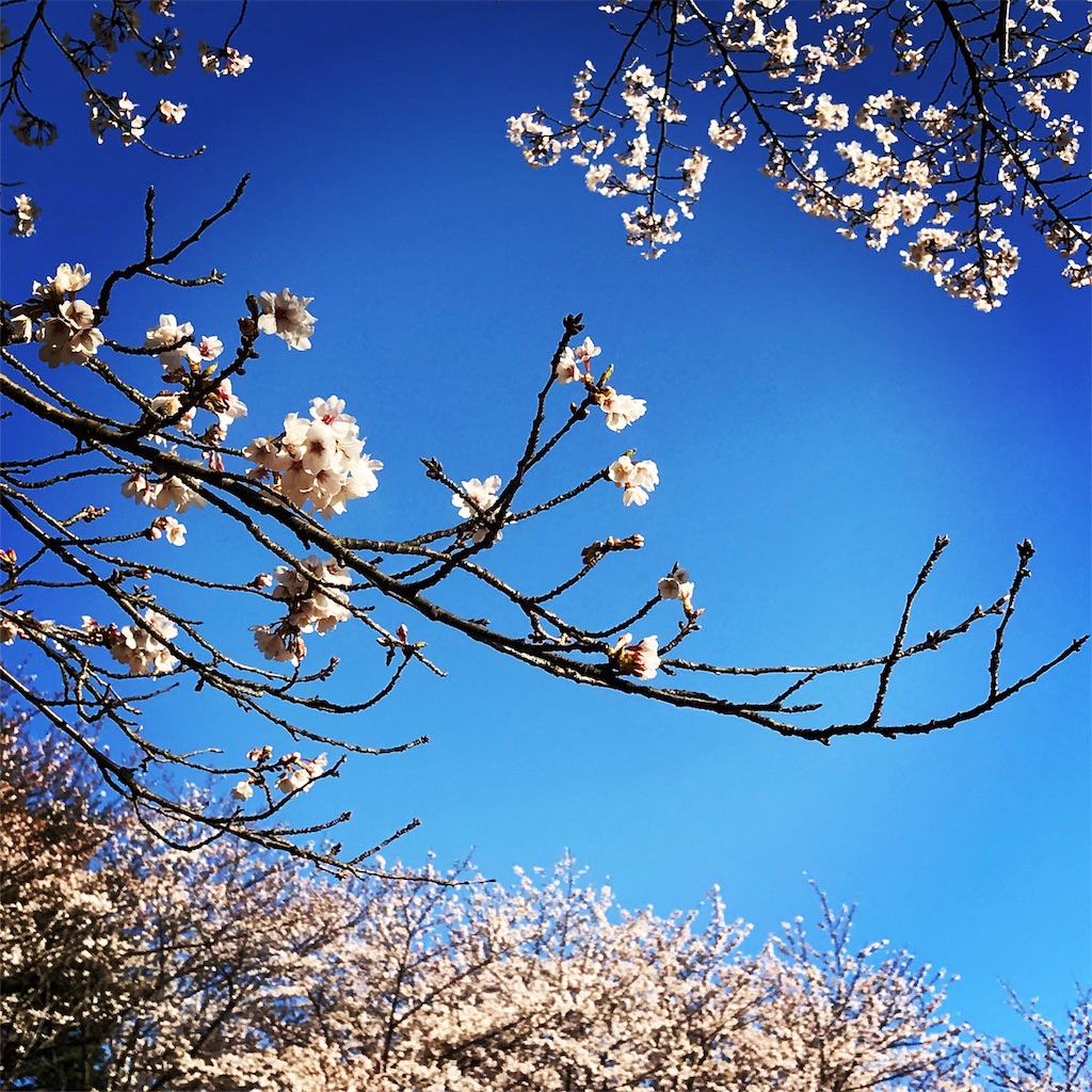 東漸寺の桜