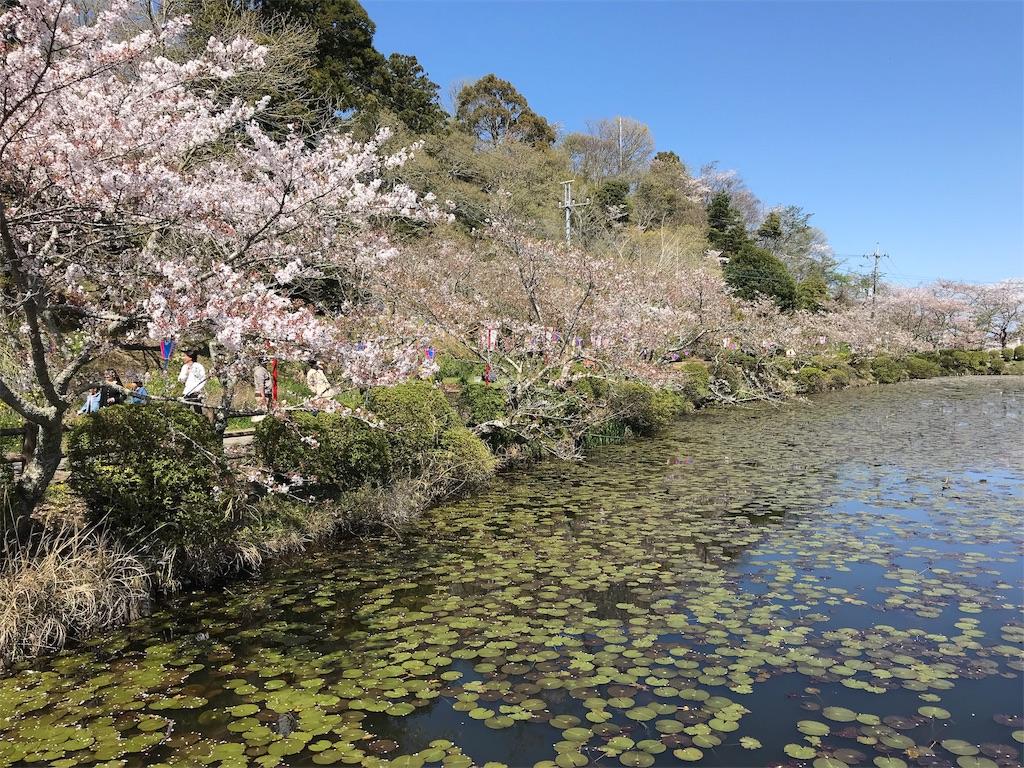 弁天湖に伸びる桜