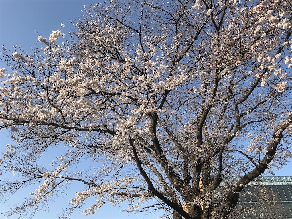 青い空に散り咲くサクラ色。