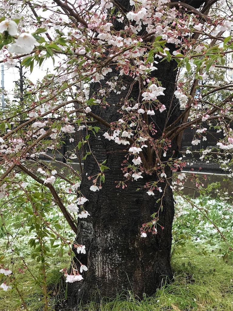 桜の上に降りしきった雪。