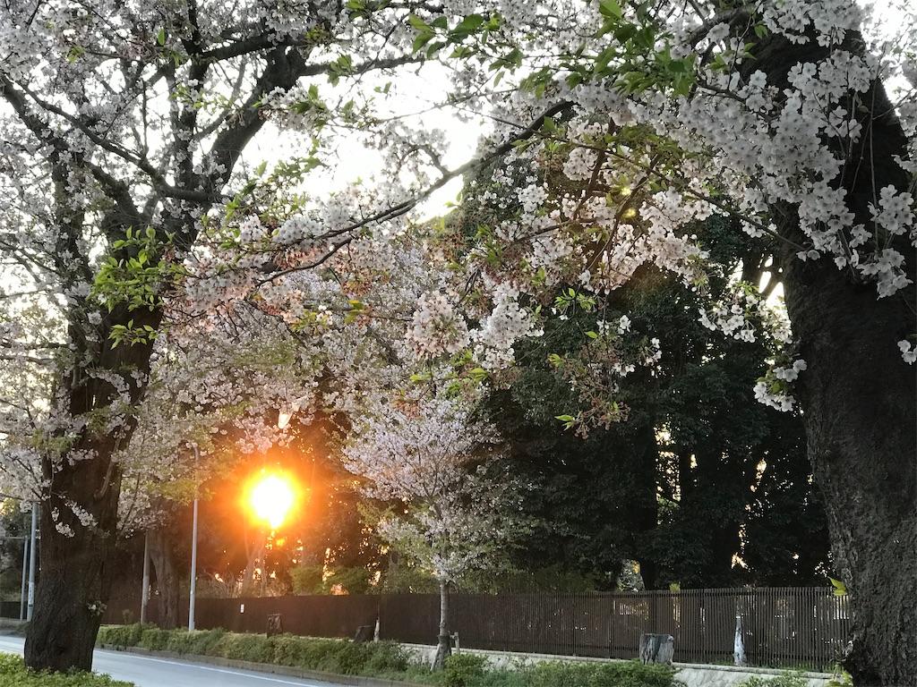 桜の木の間から、輝く夕日。