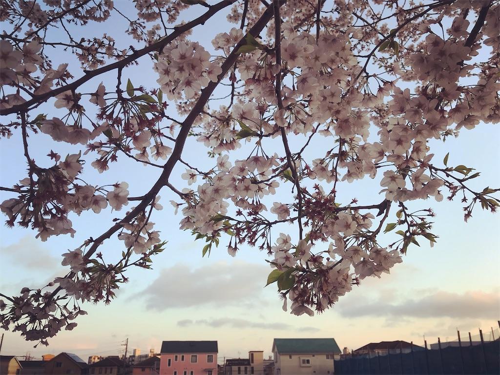 桜の夕景。