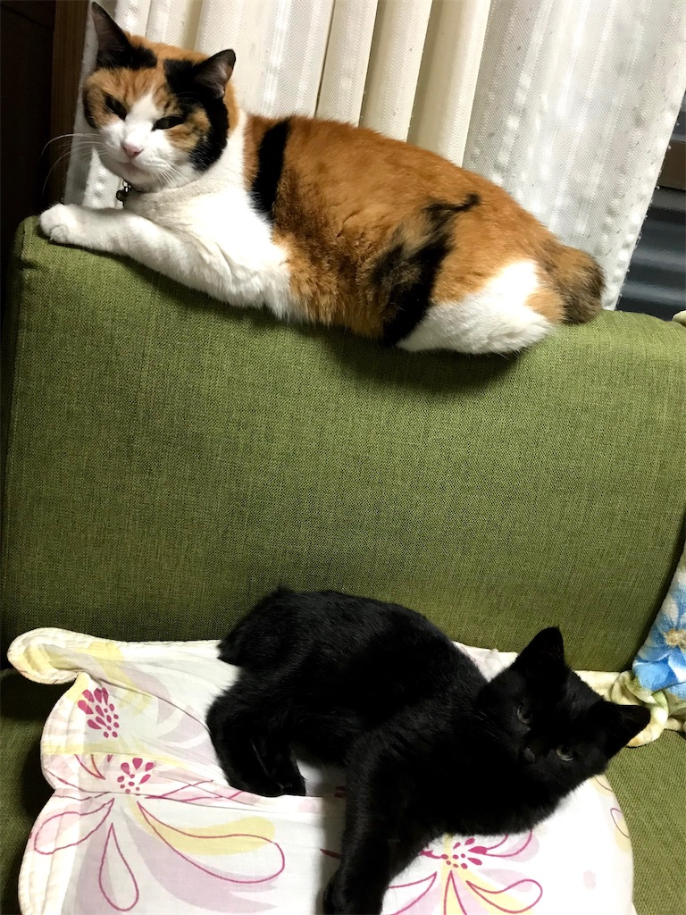 不機嫌な三毛猫と、まったく気にしない黒仔猫