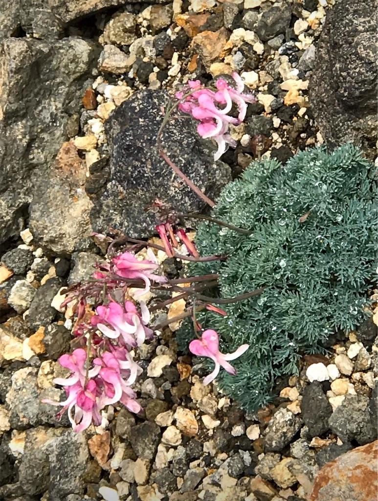 ピンク色のコマクサの花