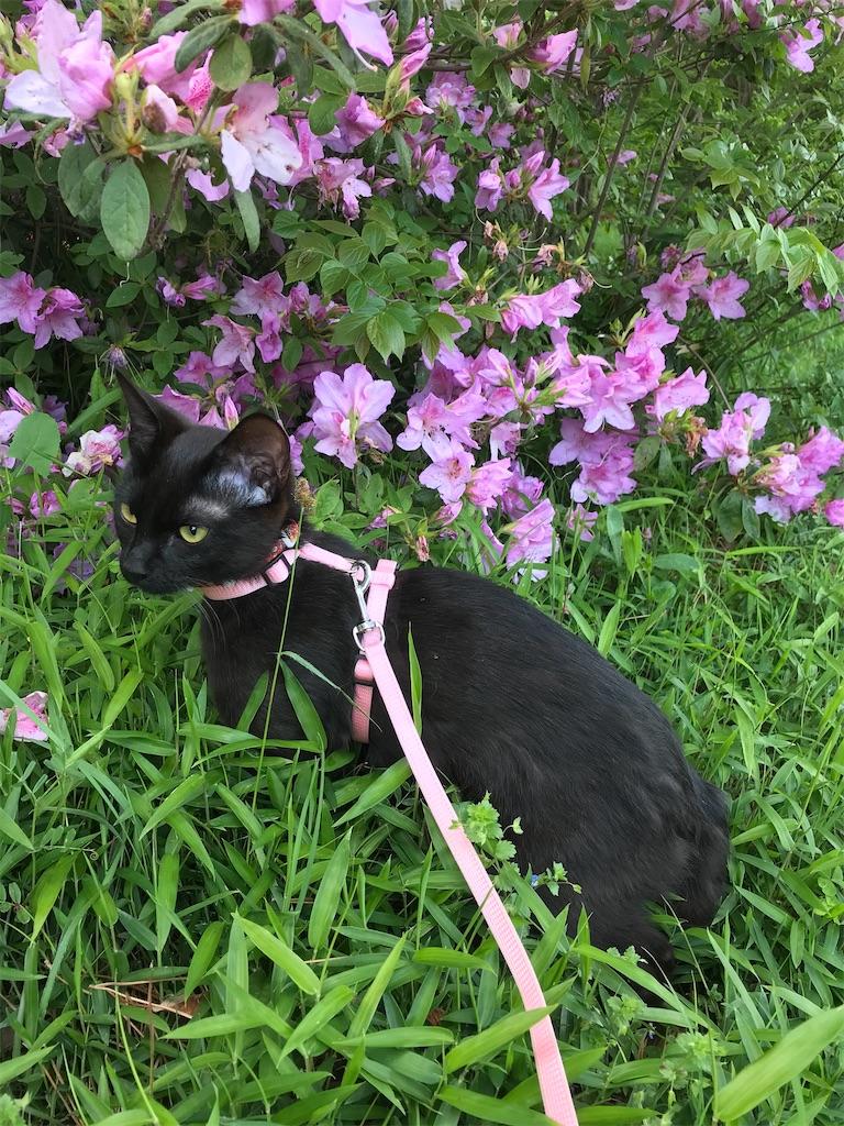黒猫とツツジの花