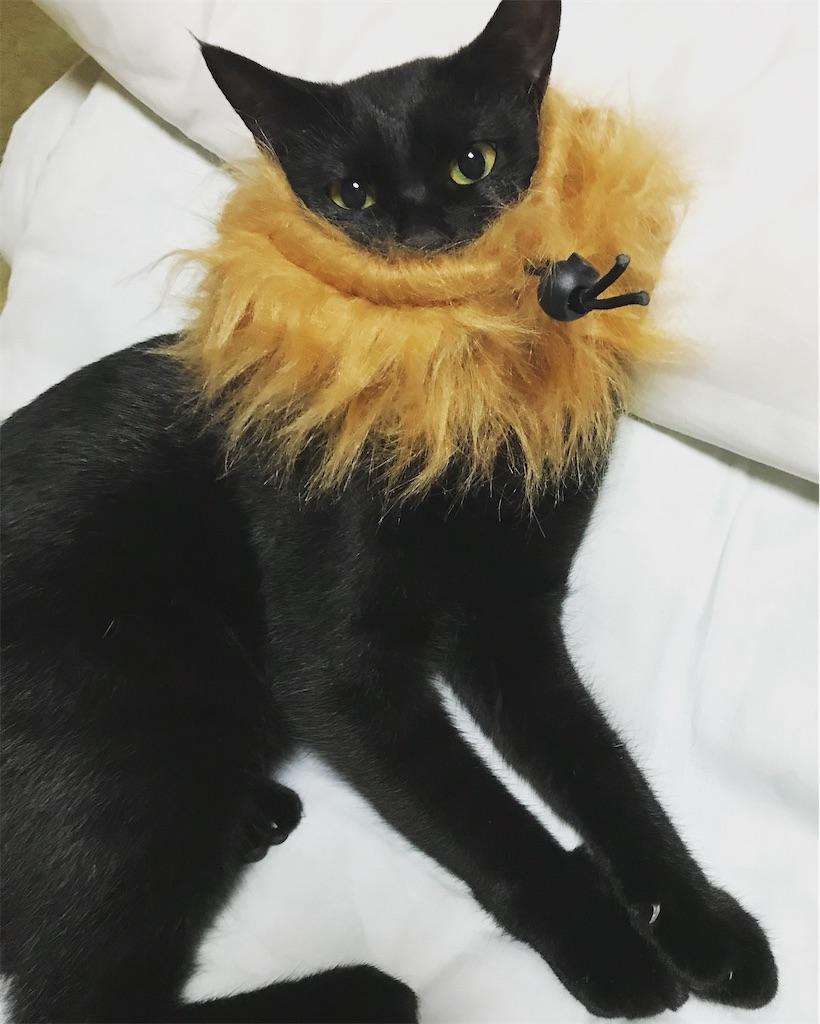 ライオンのタテガミをつけた黒仔猫