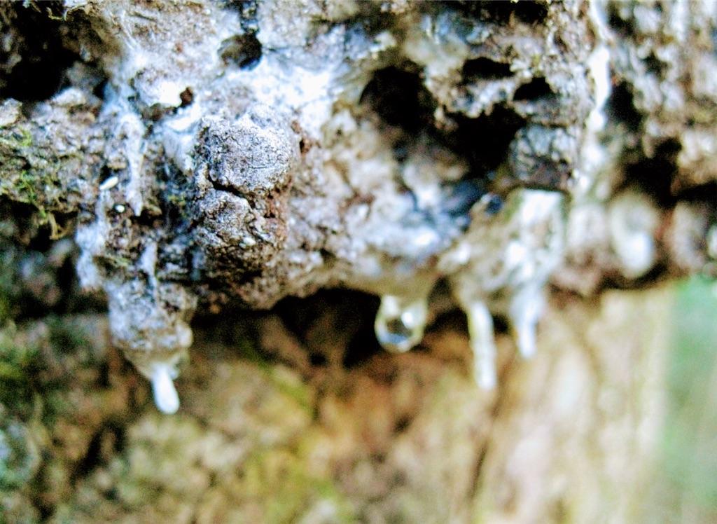 透明な樹液