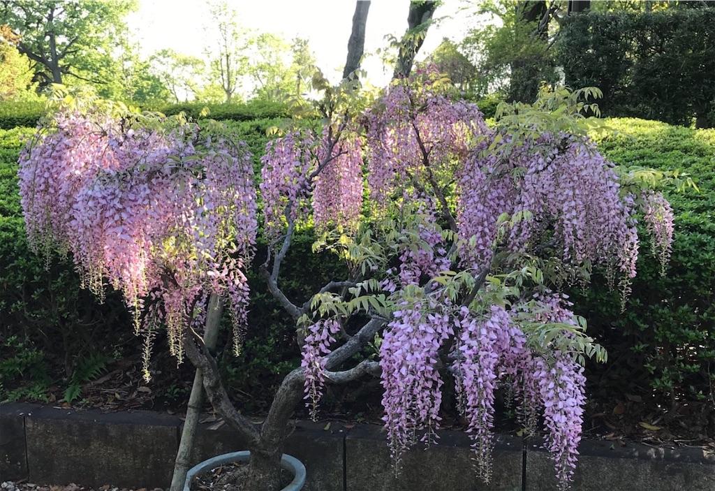 見事な紫の藤の花