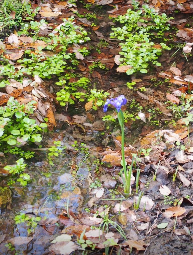 湿地に咲くアヤメ