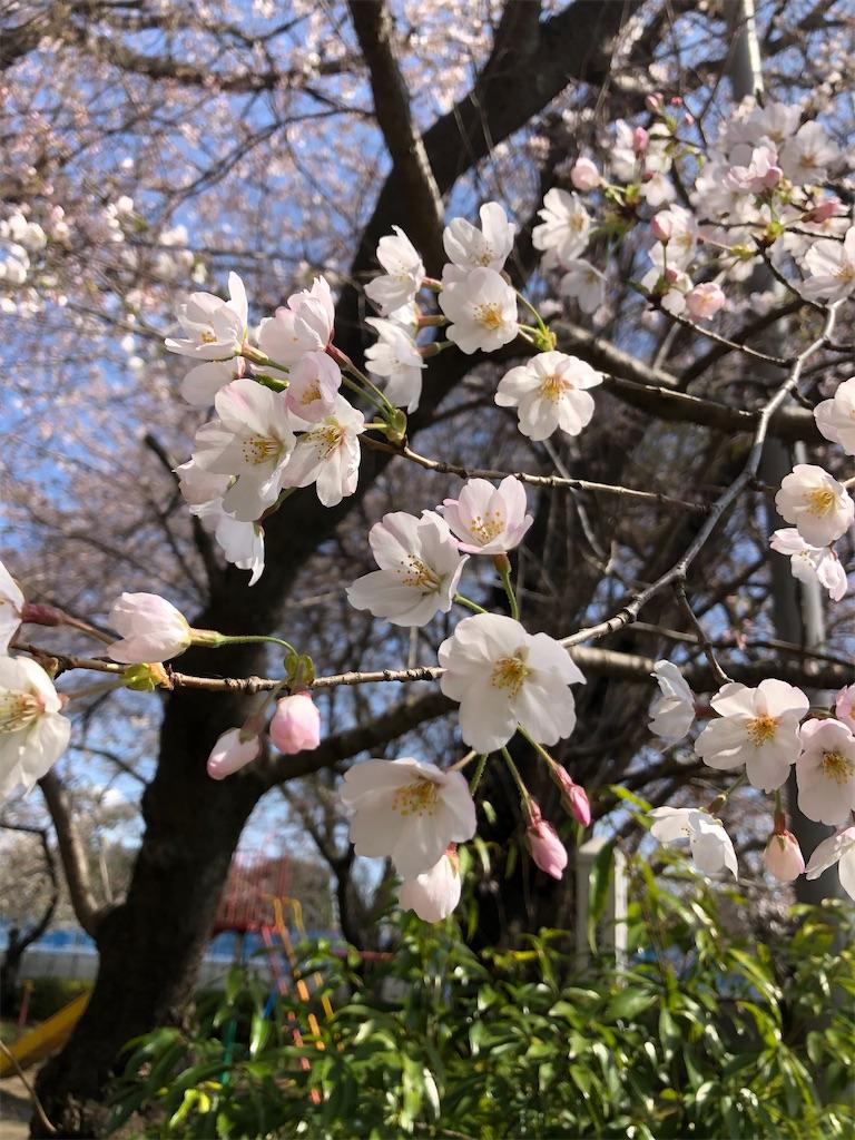 昨日の満開の桜