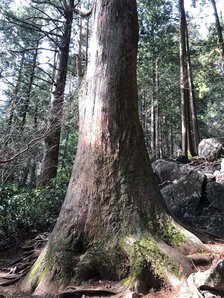 筑波山の巨樹