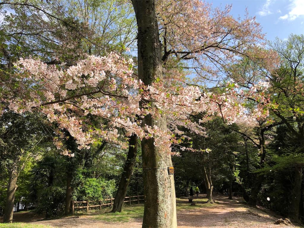 満開を少し過ぎて散る桜