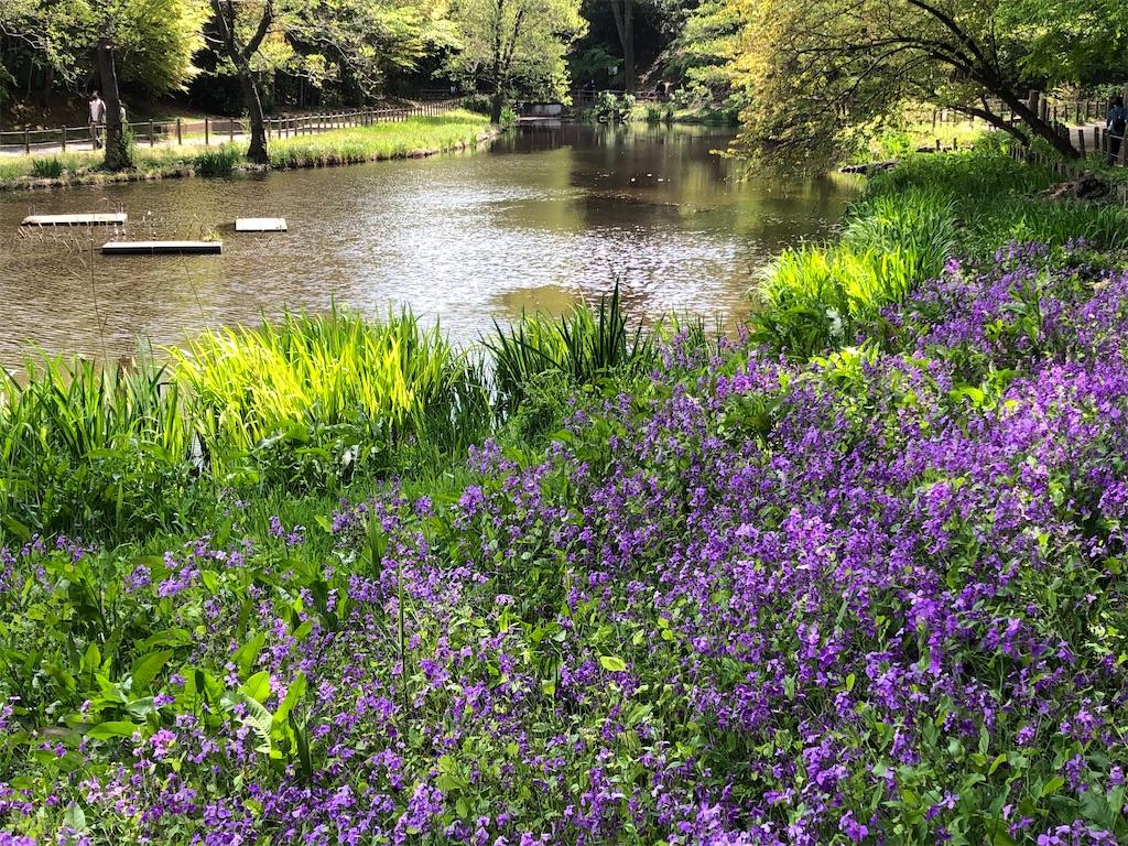 咲き誇るムラサキハナナと池
