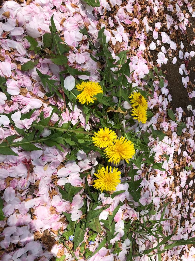 桜の花びらのじゅうたん。