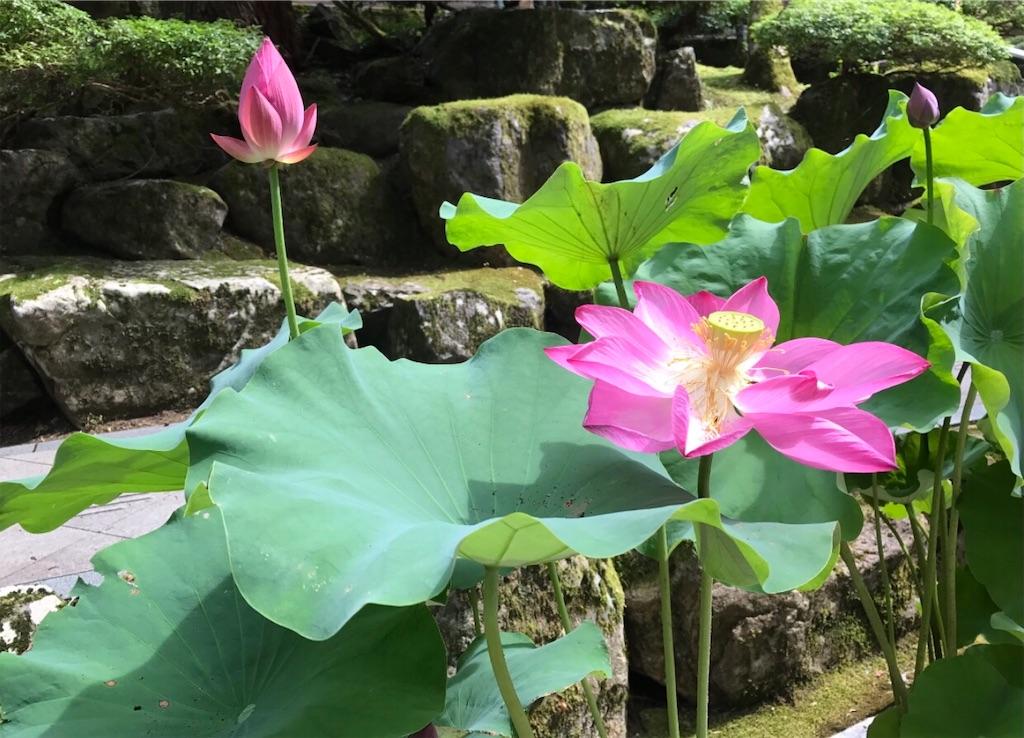 大きく見事なハスの花