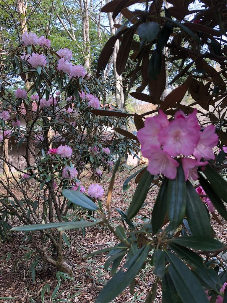 シャクナゲの花盛り。