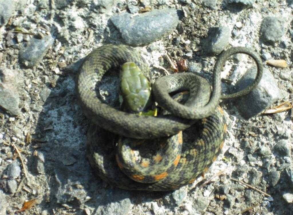 ヤマカガシの幼蛇