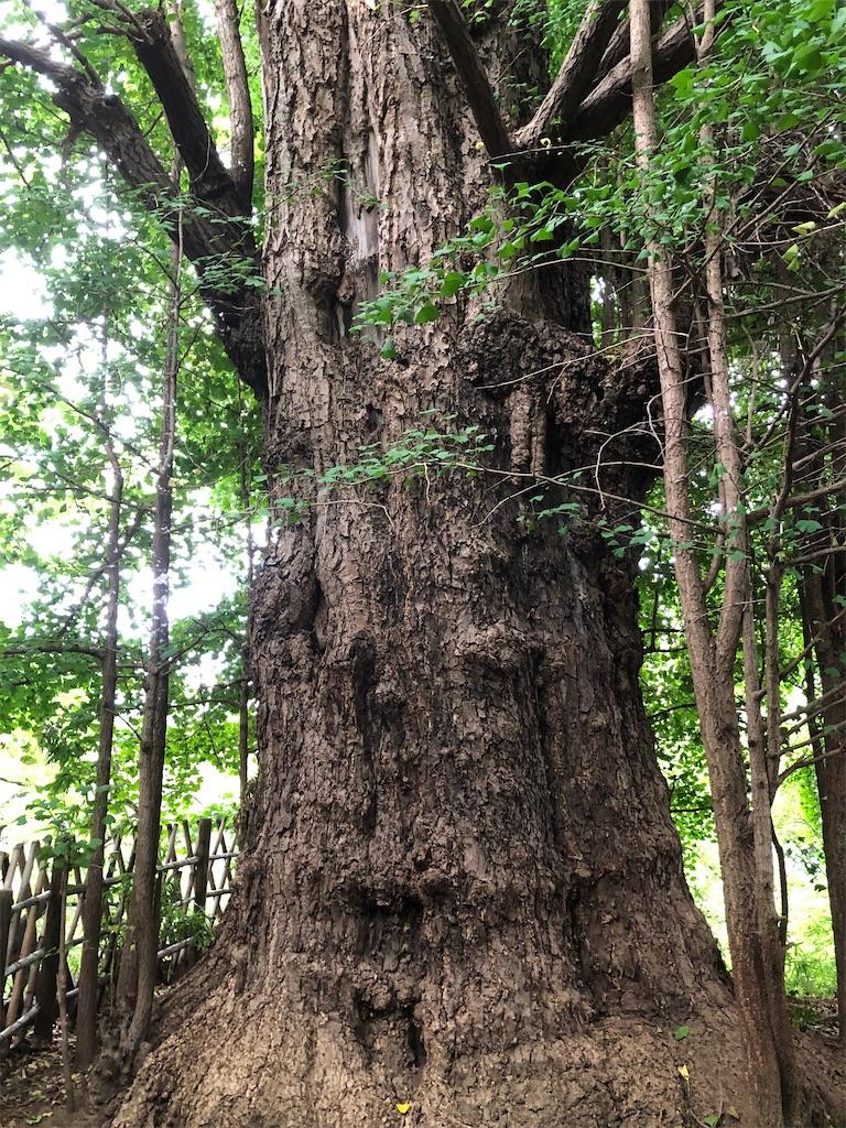 樹齢600年の大イチョウ。