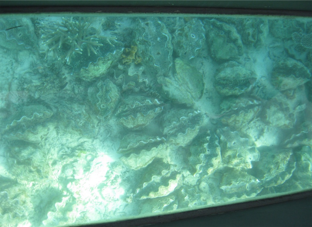 シャコ貝の群れ。