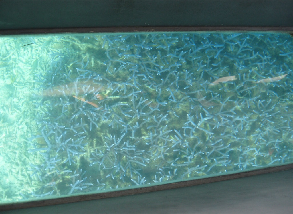 先端が光っているように見える枝サンゴ。