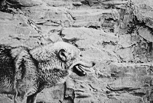 オオカミ 2