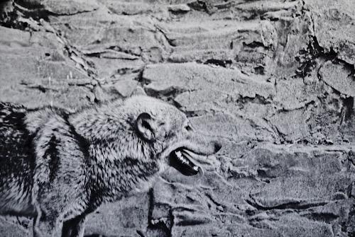 オオカミ 1