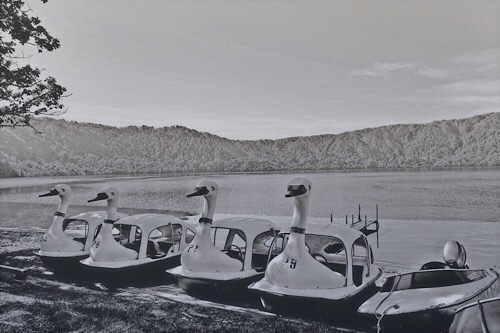 十和田湖の白鳥 20190616a