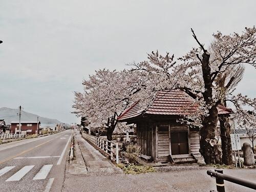 鶴岡市の桜 20190609b