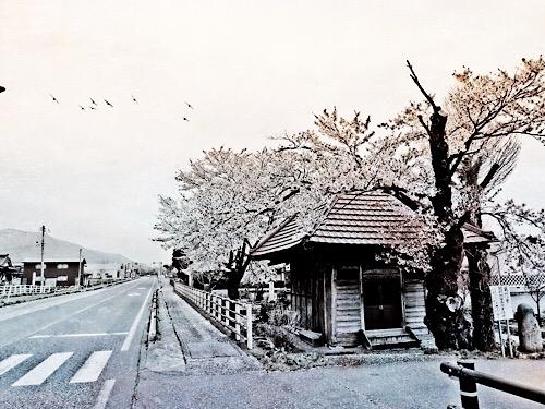 鶴岡市の桜 20190609a