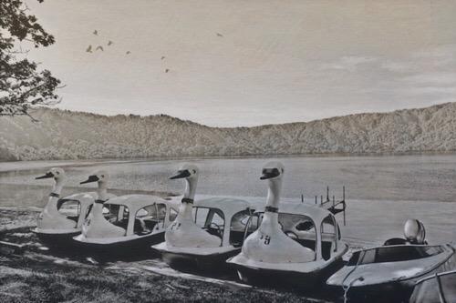 十和田湖の白鳥 20190616b