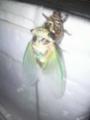 ※蝉、羽化中。