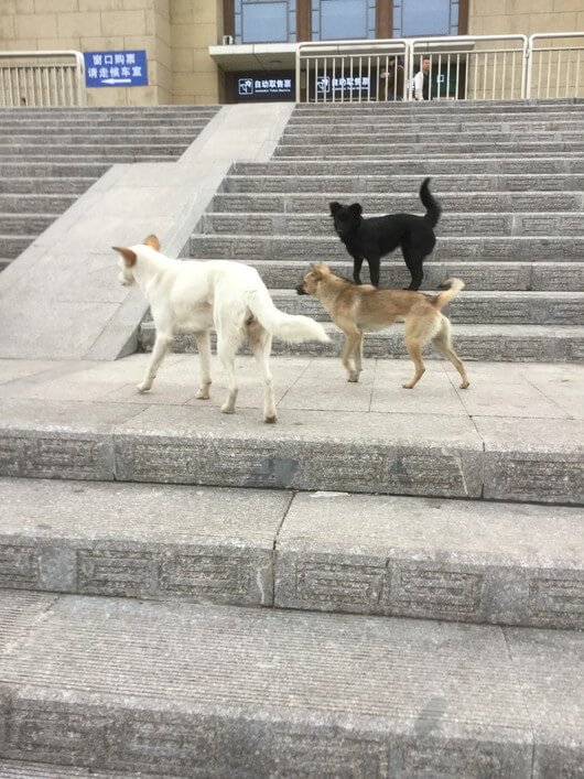 平遥古城の野良犬